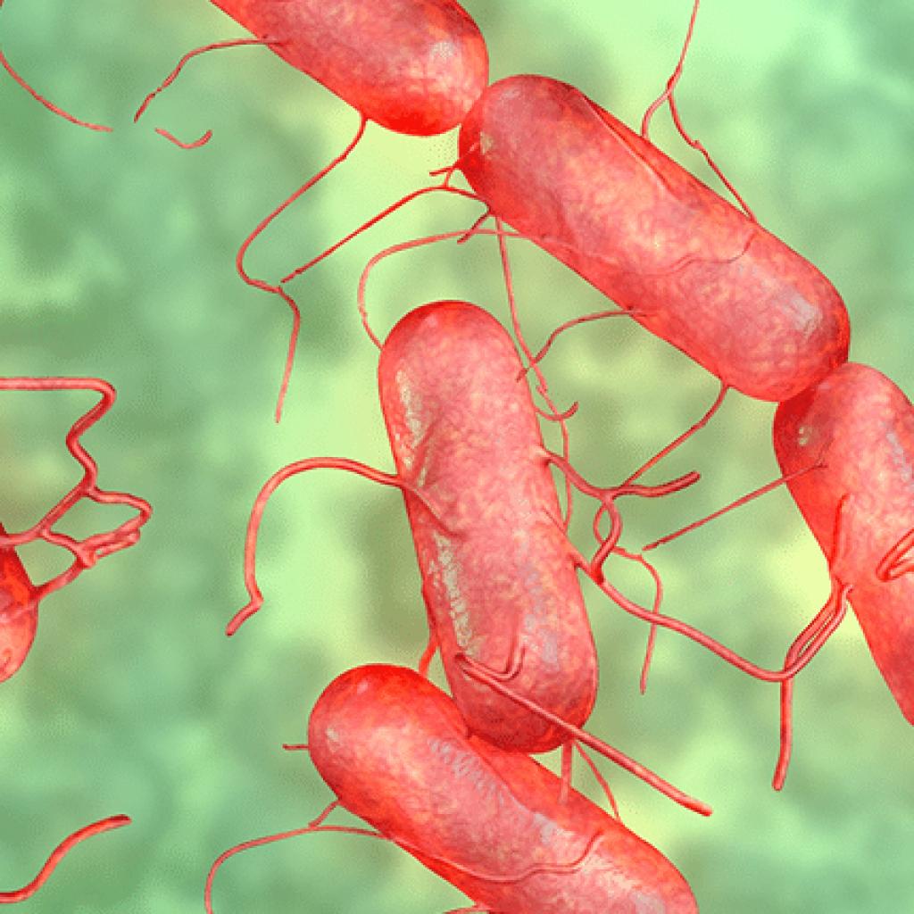Salmonella bacterium